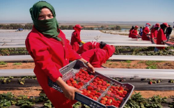 الحسيمة.. انطلاق عملية تسجيل النساء القرويات للعمل في حقول الفرولة باسبانيا