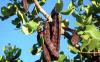 الدولة تتجه نحو استبدال زراعة الحبوب بالدريوش بغرس اشجار الخروب