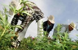 من يستفيد من زراعة الكيف في المغرب؟