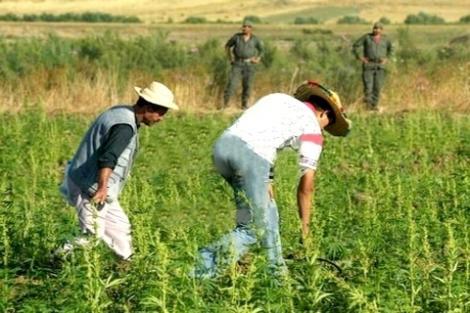 حول معاناة مزارعي الكيف بالشمال مع السلطات المحلية