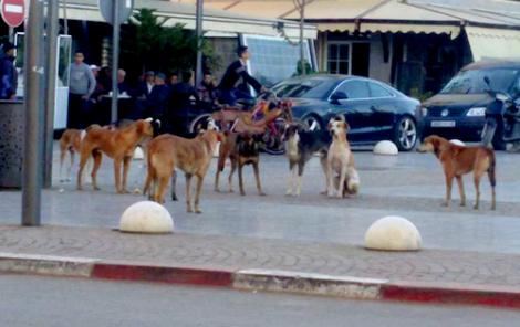 ظاهرة انتشار الكلاب الضالة بإمزورن تصل الى البرلمان