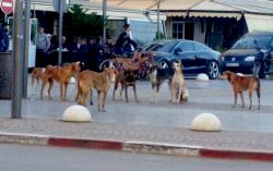 الكلاب الضالة ترسل ستة اشخاص الى المستشفى بمدينة الحسيمة