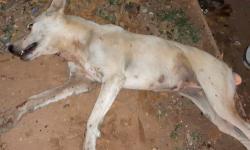 حملة لقتل الكلاب بمدينة الحسيمة بعد نقل 16 شخصا الى المستشفى