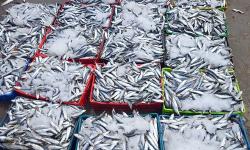 جشع المضاربين يرفع اسعار السمك بشكل صاروخي بالحسيمة