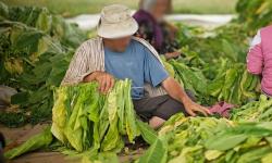 زراعة التبغ نواحي الحسيمة يجر شخصين إلى المحاكمة