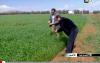 انتعاش زراعة الحبوب بمدينة العروي
