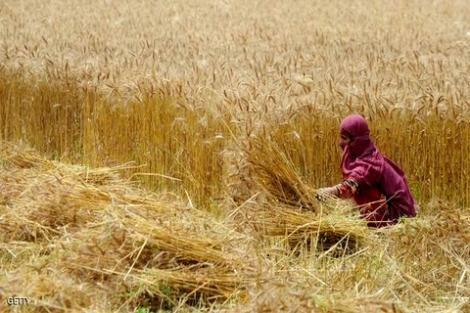 محصول الحبوب بجهة الحسيمة يقدر بـ 8 ملايين ونصف قنطار هذه السنة
