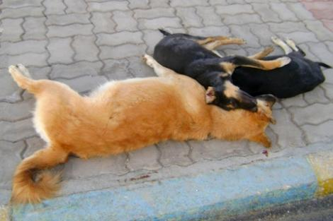حملة لقتل الكلاب الضالة بالحسيمة تثير حالة من الذعر بين الساكنة و السياح